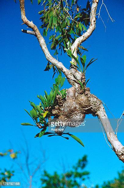Anthouse plant Myrmecodia beccarii epiphytic plant Tropical Australia