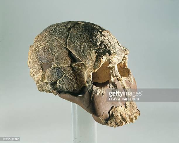 Anthropology Homo habilis skull From Tyrkana
