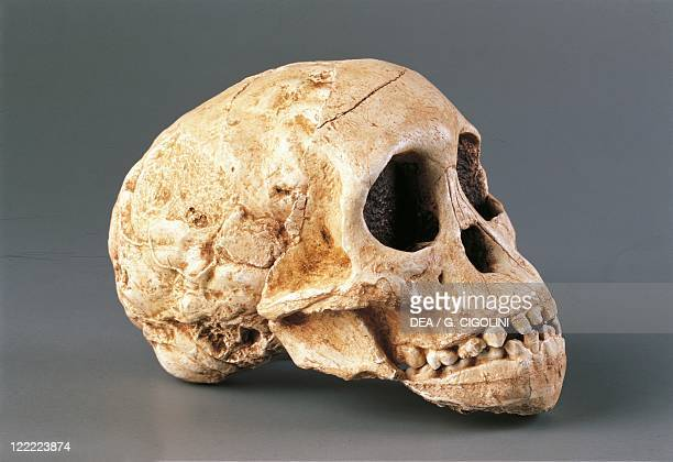 Anthropology Skull of Gracile Australopithecine From South Africa Taung