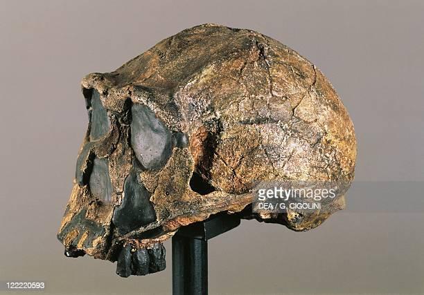 Anthropology Skull of Homo erectus from Kenya