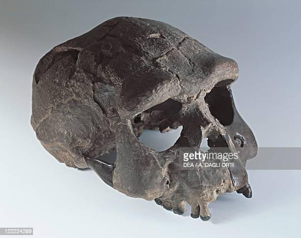 Anthropology Skull of Homo erectus known as Sangiran skull From Indonesia