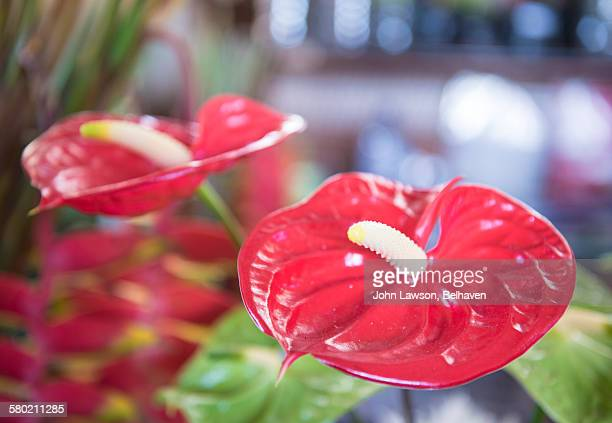 Anthurium andreanum flowers