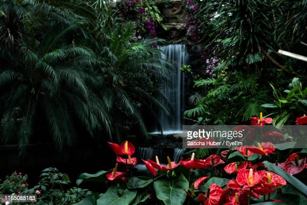 anthurium flowering plants in garden - anthurium stock pictures, royalty-free photos & images