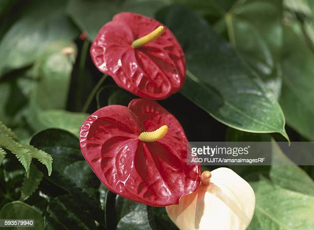 Anthurium, Kanagawa Prefecture, Japan