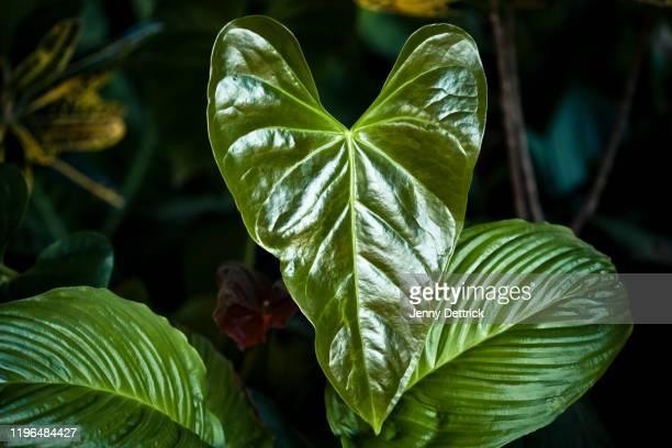 anthurium leaf - anthurium stock pictures, royalty-free photos & images