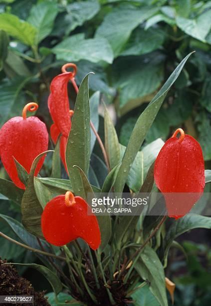 Anthurium or Flamingo Flower Araceae