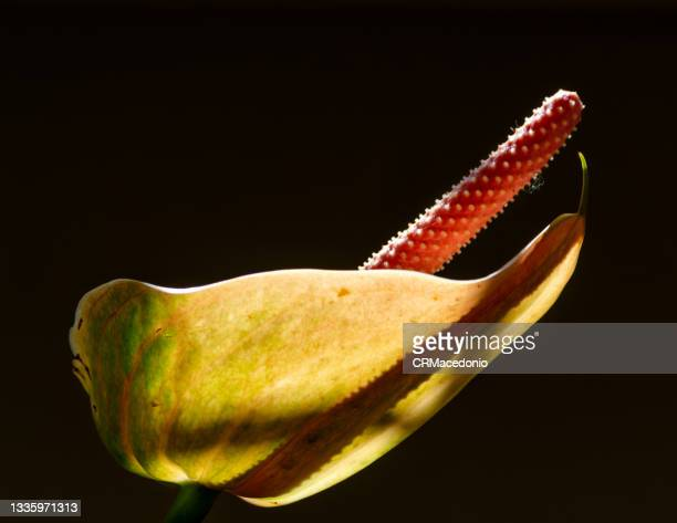 anthurium - crmacedonio stock pictures, royalty-free photos & images