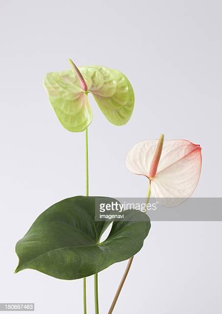 anthurium - anthurium stock pictures, royalty-free photos & images