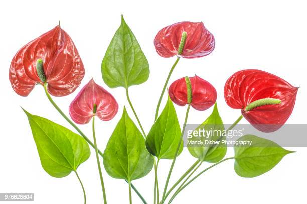 anthurium - tropical flower stock photos and pictures