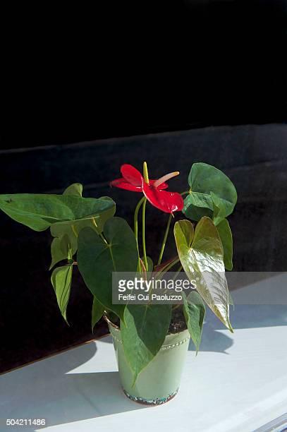 anthurium plant behind a window at hobro jutland peninsula denmark - anthurium stock pictures, royalty-free photos & images