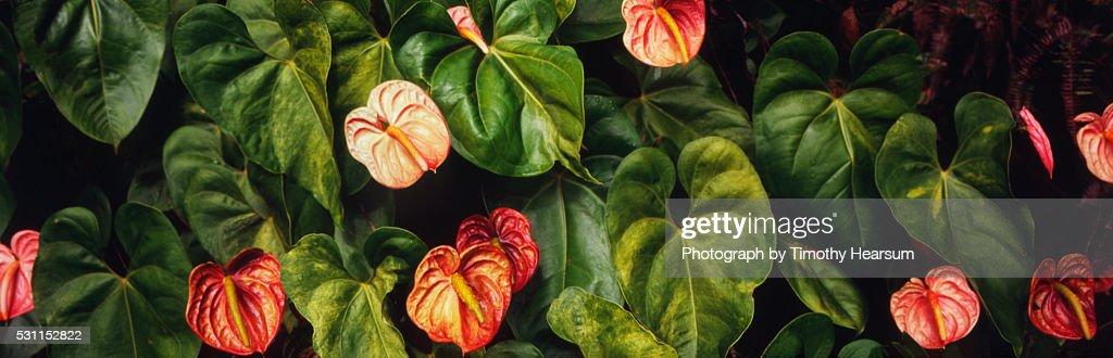 Anthurium plants : Stock Photo