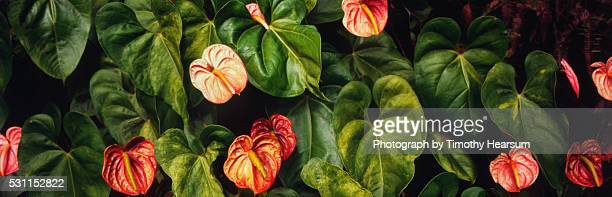anthurium plants - timothy hearsum stock pictures, royalty-free photos & images