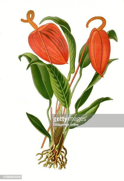 Anthurium scherzerianum Flamingo flower Flamingoblume Anthurie digital improved reproduction from a print of the 19th century