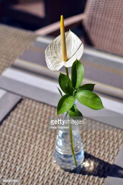 Anthurium/Laceleaf Flower