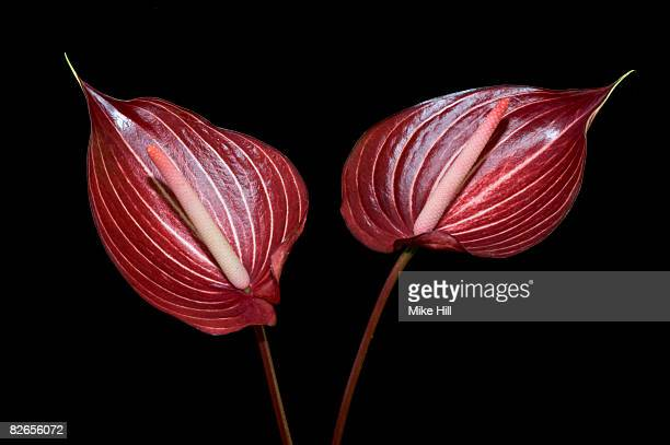 anthuriums against black background - anthurium stock pictures, royalty-free photos & images