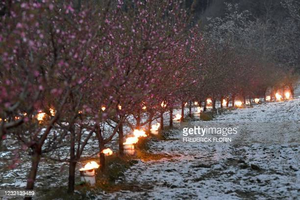 Anti-frost candles burn to protect trees from frost in an orchard as temperatures are expected to fall bellow zero degrees celsius in the next few...