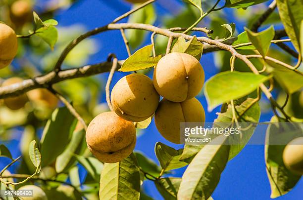 Antilles, Lesser Antilles, Grenada, nutmegs hanging on tree