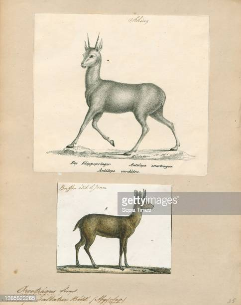 Antilope saltatrix. Print. Blackbuck. The blackbuck . Also known as the Indian antelope. Is an antelope found in India. Nepal. And Pakistan. The...