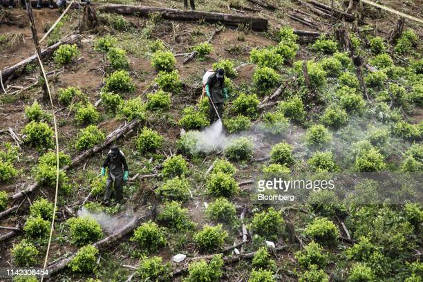 AntiNarcotics police officers spray glyphosate as they destroy a coca field during an operation in Tumaco Narino department Colombia on Tuesday May 8...