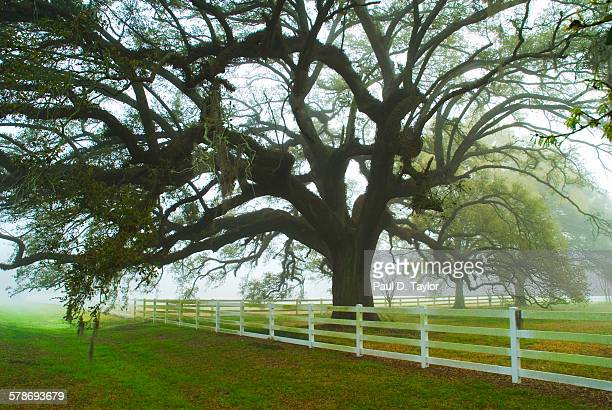Antioch Oak in Fog