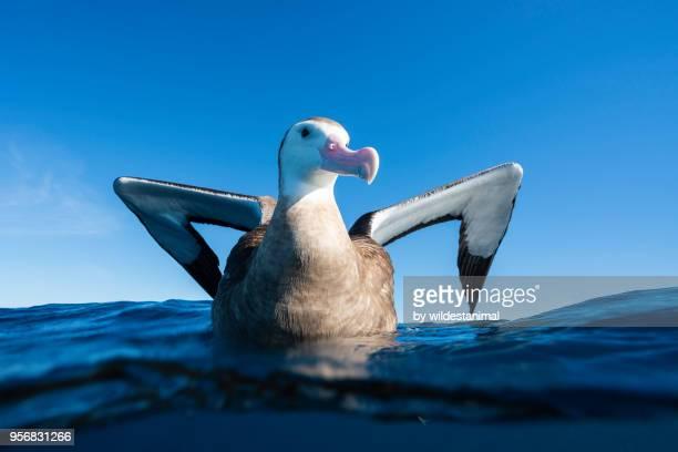 antipodean albatross on the water, new zealand. - albatroz imagens e fotografias de stock