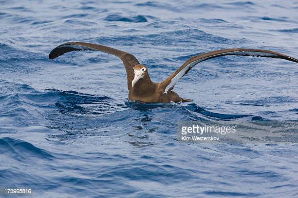 Antipodean albatross, wings outstretched