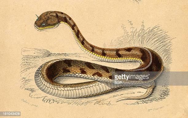 Desert Horned Viper Cerastes Cornutus This Snake Is Now Known As The Saharan Horned Viper Or The Egyptian Sand Viper Cerastes Cerastes