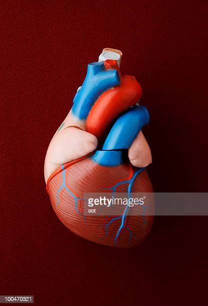 antique medical model of a heart - human heart stock pictures, royalty-free photos & images