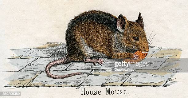 Antique print of a house mouse from the illustrated book The Natural History of Animals 1859