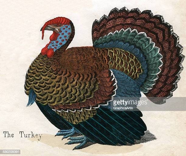 Antique print of a turkey from the illustrated book The Natural History of Animals 1859