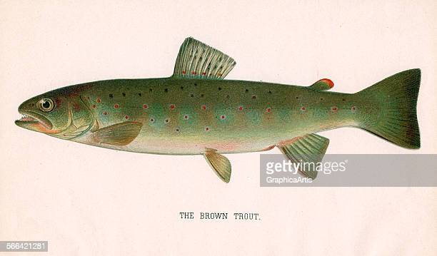 Antique print of the brown trout; color lithograph, 1901.