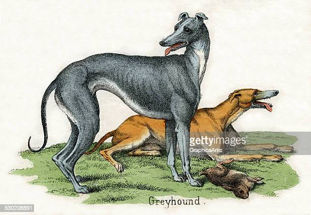 Antique print of two greyhounds from the illustrated book The Natural History of Animals 1859