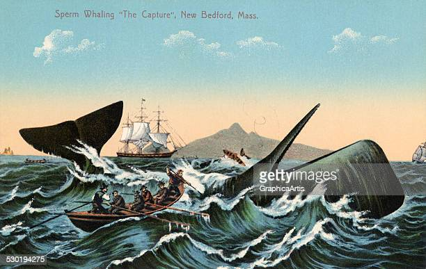 Antique print of whalers harpooning a sperm whale off New Bedford Massachusetts 1910