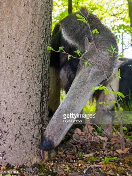 antkiller - oso hormiguero gigante fotografías e imágenes de stock