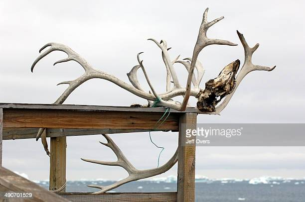 Antlers from a caribou head drying outside a house in the Inuit village of Ilimanaq South of the Kangia Ice fiord Ilimanaq is a traditional Greenland...