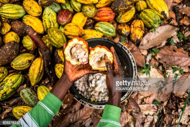 Antoine Kakule Kihumuledi a cocoa farmer opens cocoa pods with a stick to collect cocoa beans at his farm in Mbau on November 15 2016 Cocoa farming...