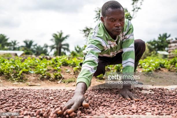 Antoine Kakule Kihumuledi a cocoa farmer spreads cocoa beans placed under the sun to dry in Mbau on November 15 2016 Cocoa farming in the Beni area...