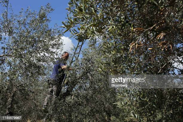 Antonio Dominguez a field worker prunes an olive tree in an olive grove near Moron Air Base in Arahal Spain on Wednesday March 13 2019 The...