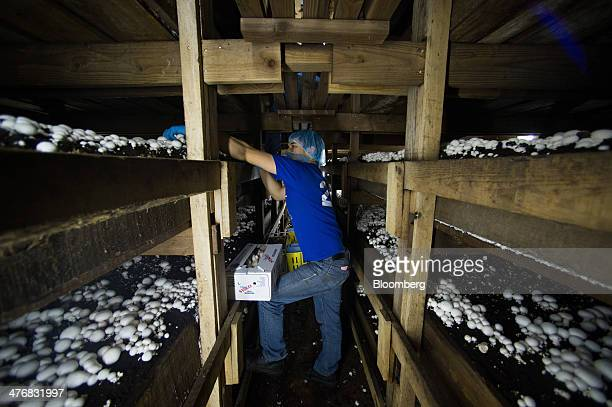 30 Operations At The Kaolin Mushroom Farm Photos And Premium High Res Pictures Getty Images