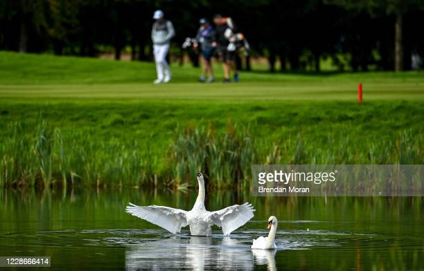 Antrim , United Kingdom - 23 September 2020; Swans are seen in a lake as Jeff Winther of Denmark passes by during his practice round ahead of the...