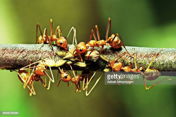 ants and aphids on branch. - aphid stock pictures, royalty-free photos & images