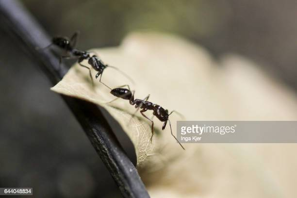 Ants are crawling over a leaf on February 06 2017 in Berlin Germany