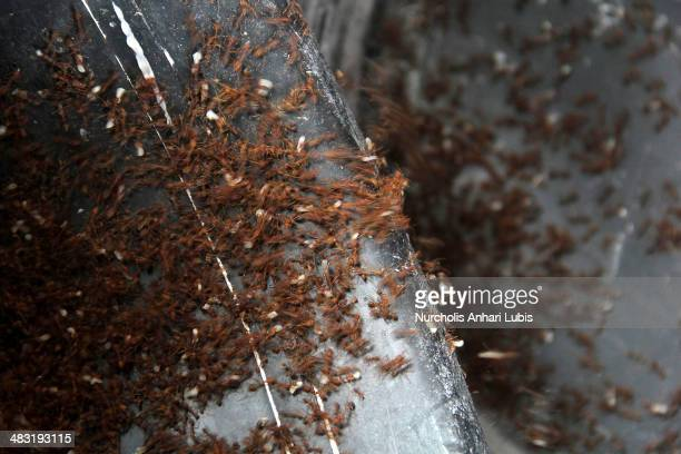 Ants are separated from their eggs on April 5 2014 in Bogor Indonesia Breeders can produce 300 pounds of eggs and hundreds of thousands of ants per...