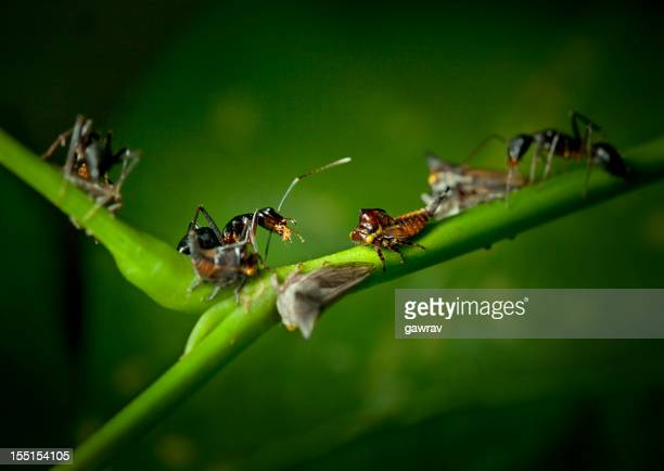 Ants attacking and eating other small insects