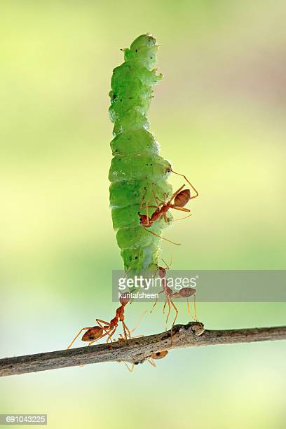 Ants carrying part of a leaf, Indonesia