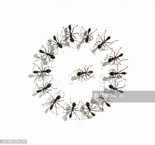 Ants (Eciton quadrigtume) circling one ant, overhead view (Digital Composite)