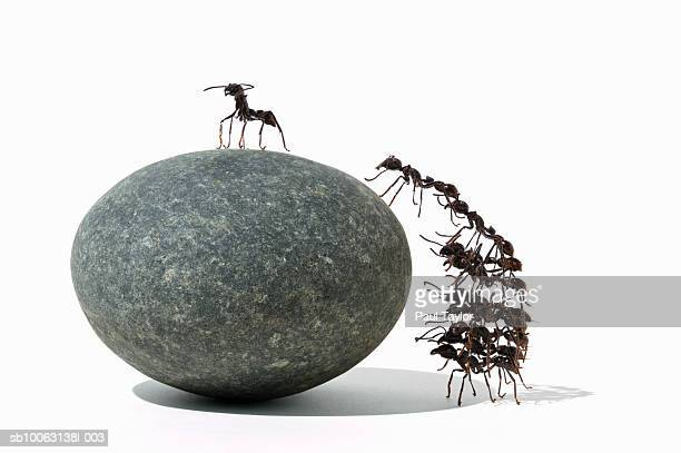 Ants (Eciton quadrigtume) climbing rock