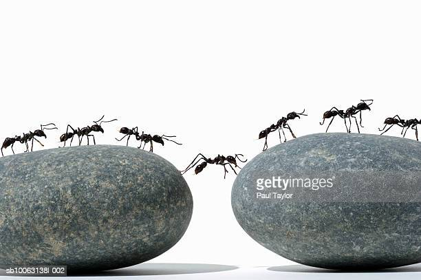 Ants (Eciton quadrigtume) crossing divide between two rocks, side view