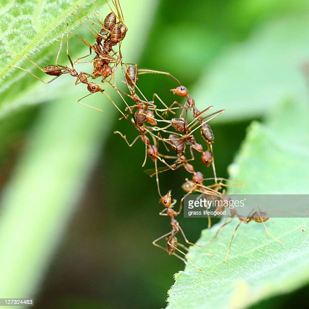 ants crossing over to other leaf - colony group of animals stock photos and pictures