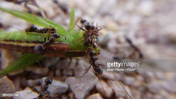 Ants dragging a grasshopper back to the nest